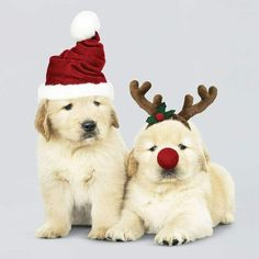 Christmas Puppies of 5 Christmas Cards